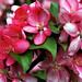 """Cincinnati - Spring Grove Cemetery & Arboretum """"Red Crabapple Blooms"""""""