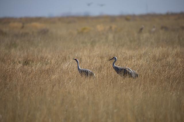 Sandhill Cranes in the San Luis Valley of Southern Colorado