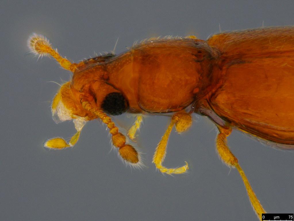 8c - Staphylinidae sp.