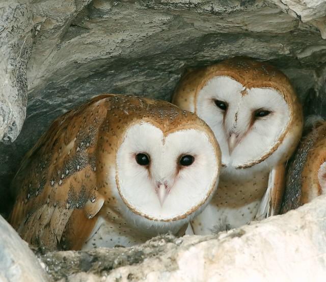 _87A8406 Barn Owls