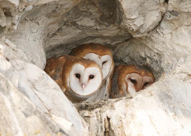 _87A8389 Barn Owls