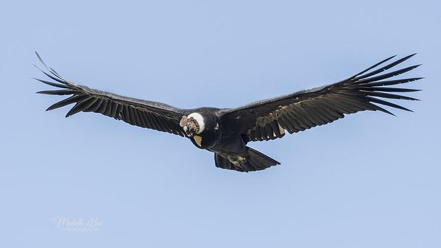 _DSC6917 _ Andean Condor