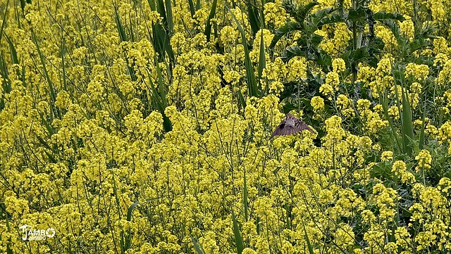 In the yellow flowering