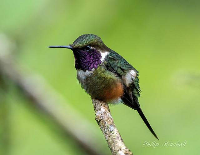 Purple-throated Woodstart