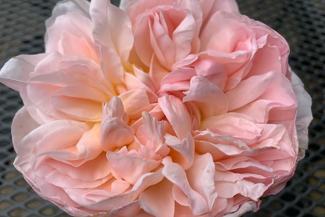 Rose 'Evelyn' - in my garden..