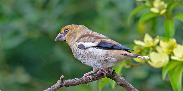 Hawfinch ..newly fledged youngster