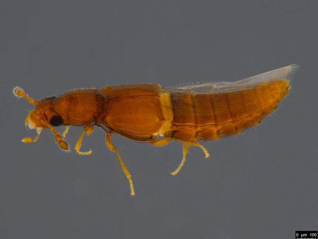 8a - Staphylinidae sp.