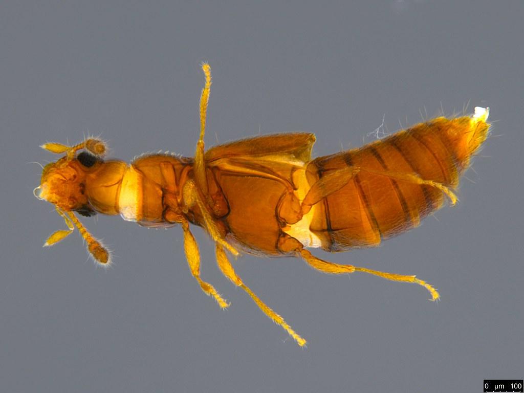 9b - Staphylinidae sp.