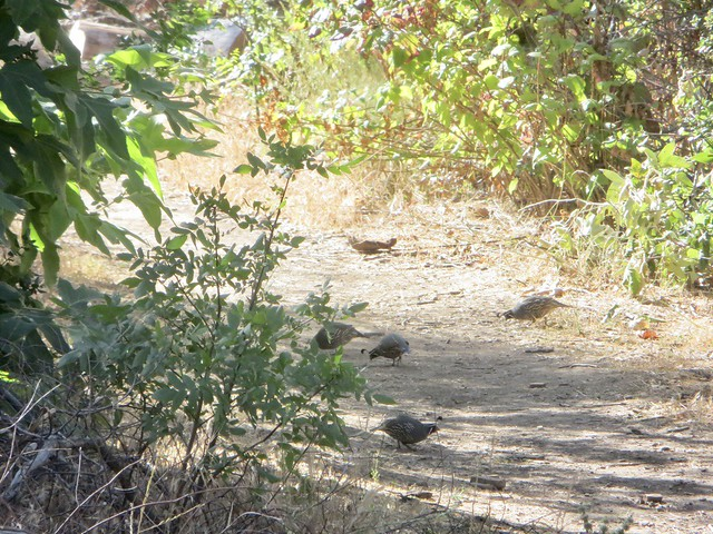a very shy covey of California quail in Solstice Canyon