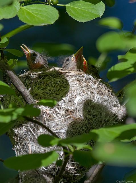 American Redstart - Nest 3/3