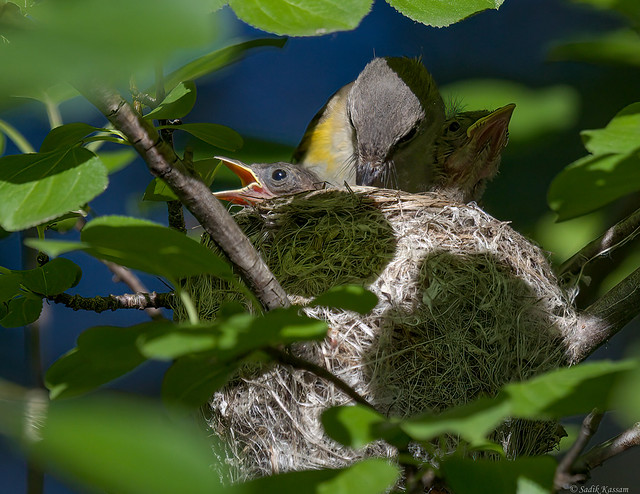 American Redstart - Nest 1/3
