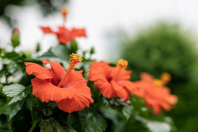 Ullis flowers