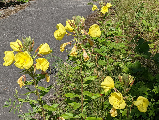 Yellow flowers on an urban trail