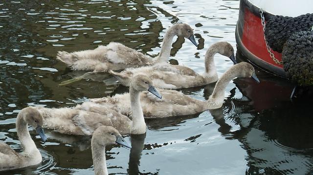 Swan Family 011