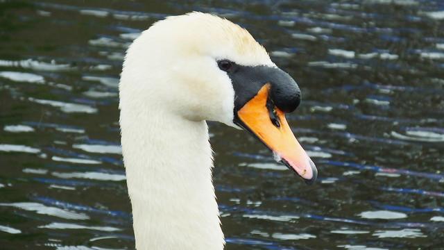 Swan Family 010