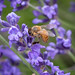 Bee On Lavender Blossoms