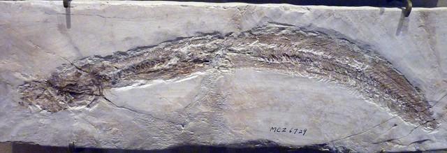 Eomyrophis latispinus (27-7-19 Harvard MNH, det as Eomyrophus)