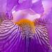 Iris, 4.9.18