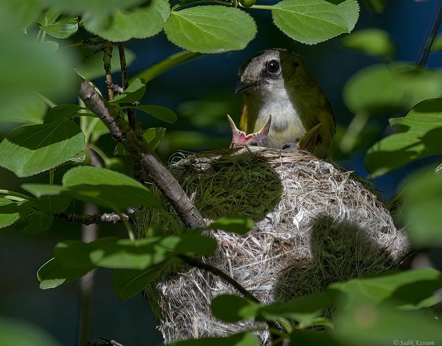 American Redstart - Nest 2/3