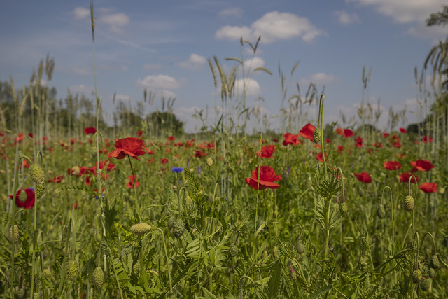 During one of our bike rides we passed a field full of poppies