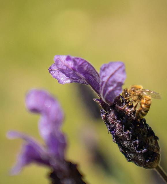 Bee on Lavender #6