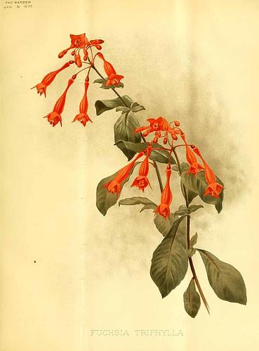 Fuchsia-triphylla