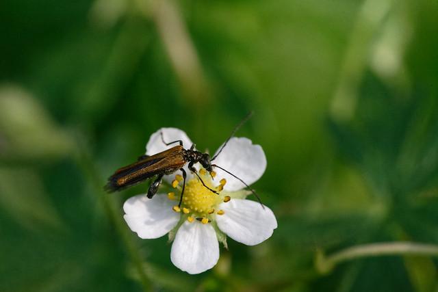 Käfer auf Blüte der Wilderdbeere