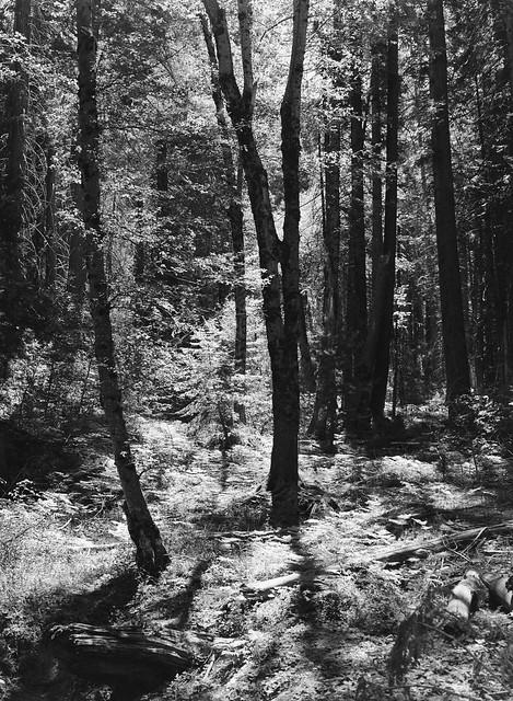 Mariposa Grove, Yosemite, California