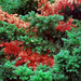 """Cincinnati - Spring Grove Cemetery & Arboretum """"Pine Needles In Transition"""""""