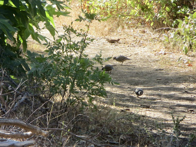 California quail have returned to Solstice Canyon