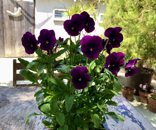 violas in full bloom