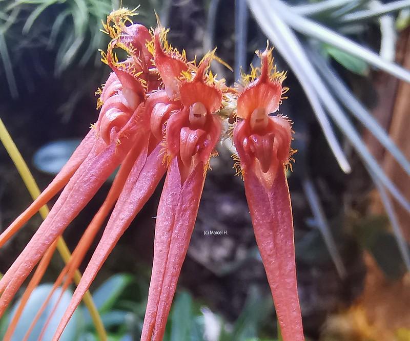 Bulbophyllum tingabarinum var apricot 51267393896_c4ae6a0196_c
