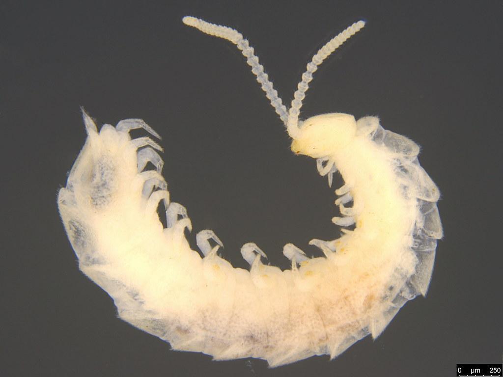 18 - Symphyla sp.