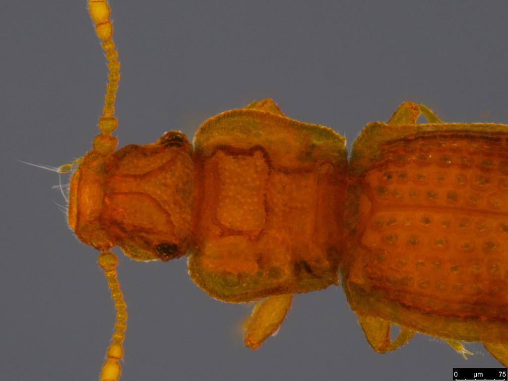 18c - Coleoptera sp.