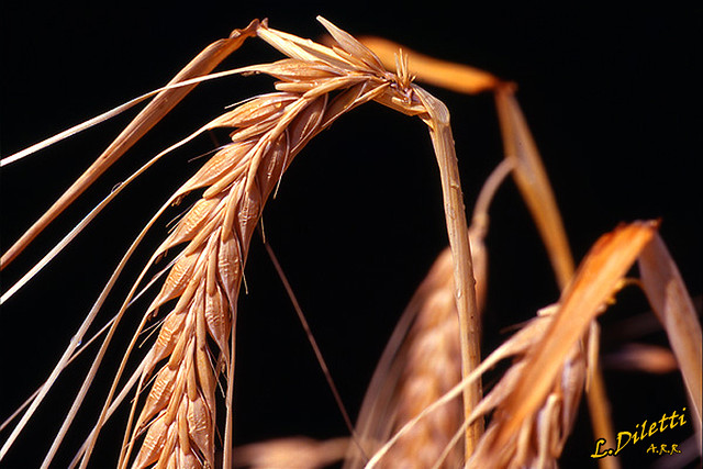 <L'oro del campo><the gold of the field><et aurum de agro><Золота кампанія>