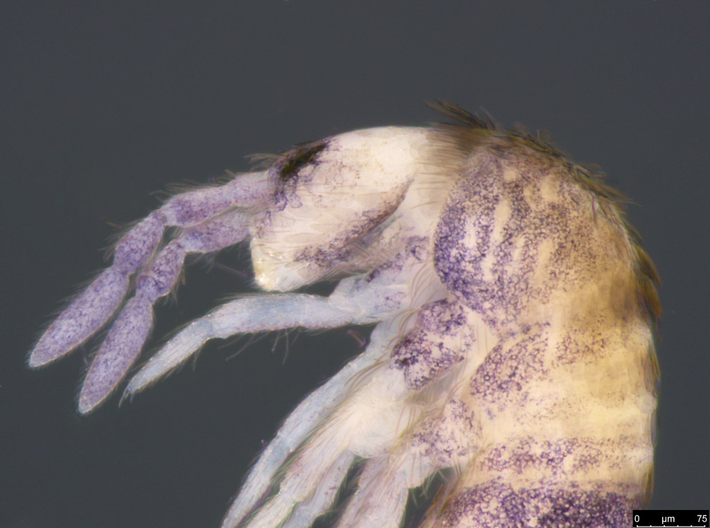 6b- Entomobryidae sp.