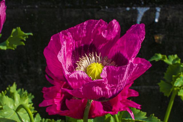 Wild Poppies Bognor Regis