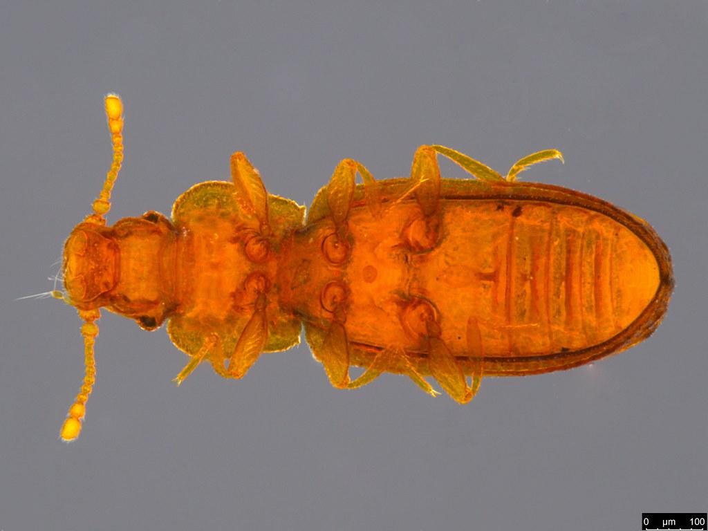 18b - Coleoptera sp.