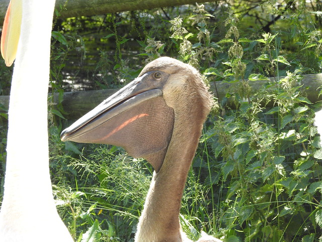 Young Eastern White Pelican