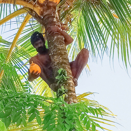 Getting a coconut