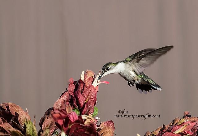 Ruby-Throated-Hummingbird-female-Feeding