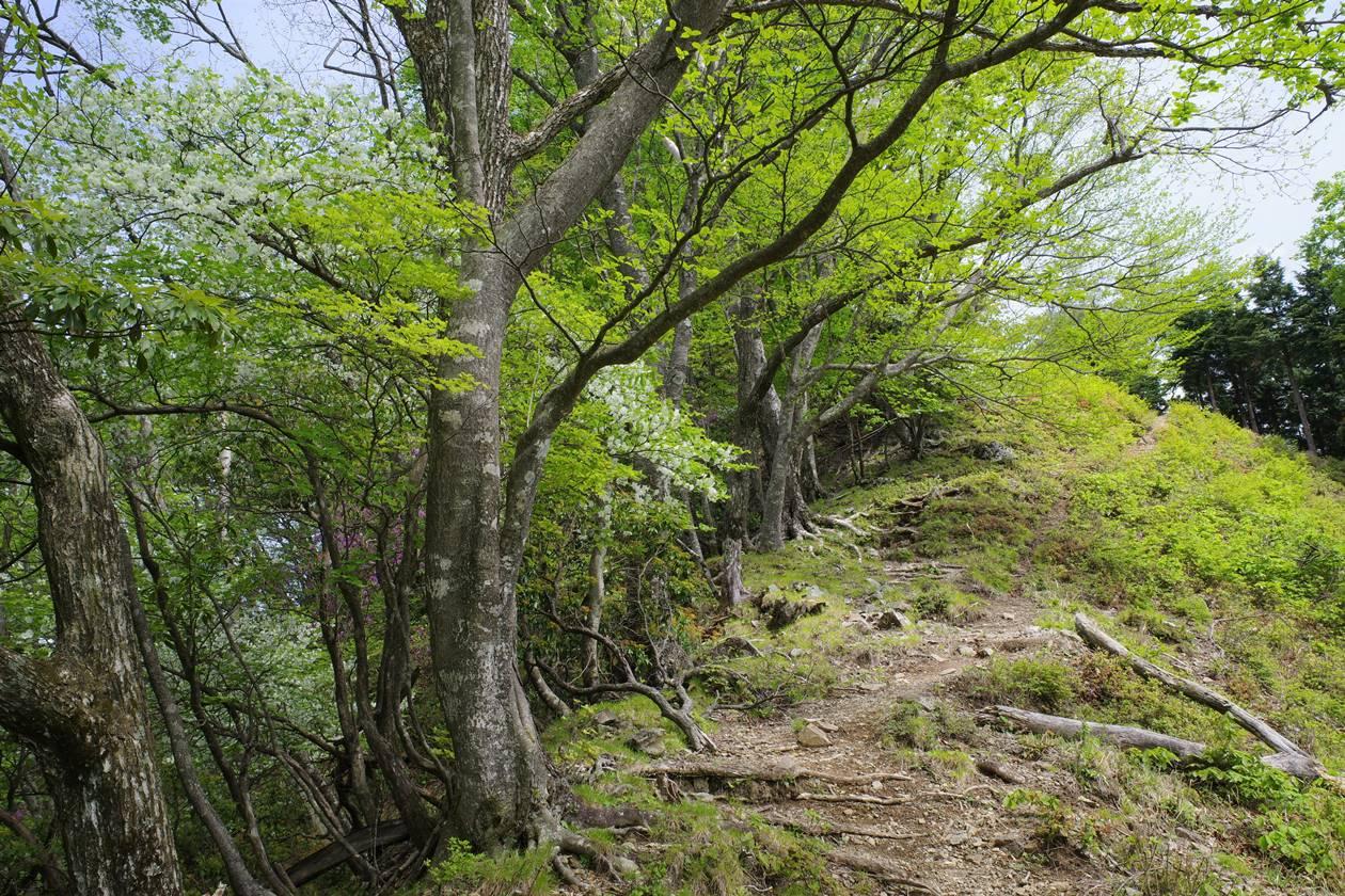 蕎麦粒山~川苔山 シロヤシオ咲く登山道