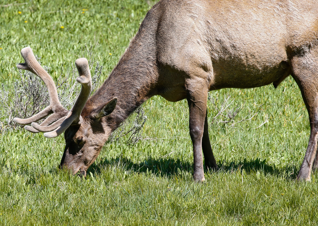 elk buck grazing close up