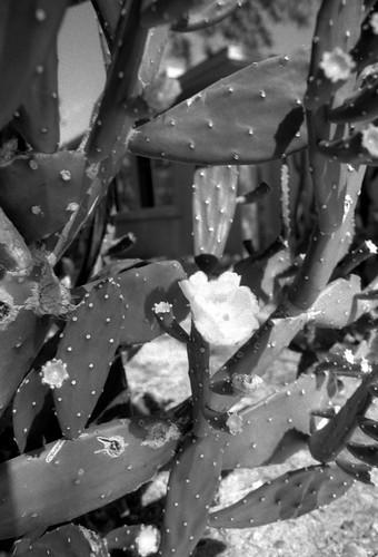 Cactus (5)