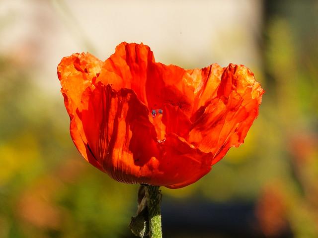 04 Vibrant Poppy
