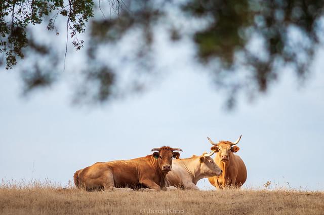 Cows are gentle, interesting animals - Ingrid Newkirk