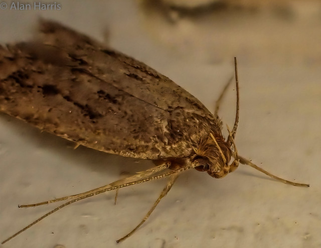 Common house moth - Tinea Bisselliella- also known as the common clothes moth