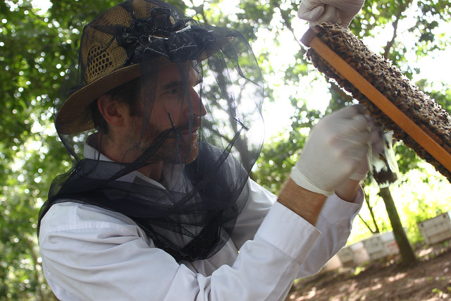 Geoff Williams inspects brood cells in a bee colony.
