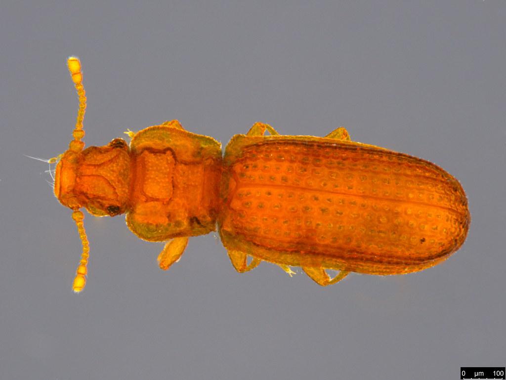 18a - Coleoptera sp.