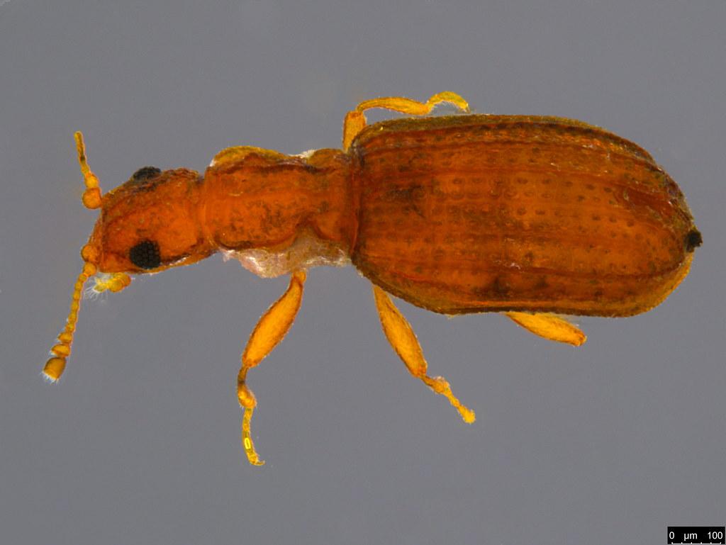 19a - Cartodere sp.